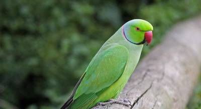 Птица Александров попугай