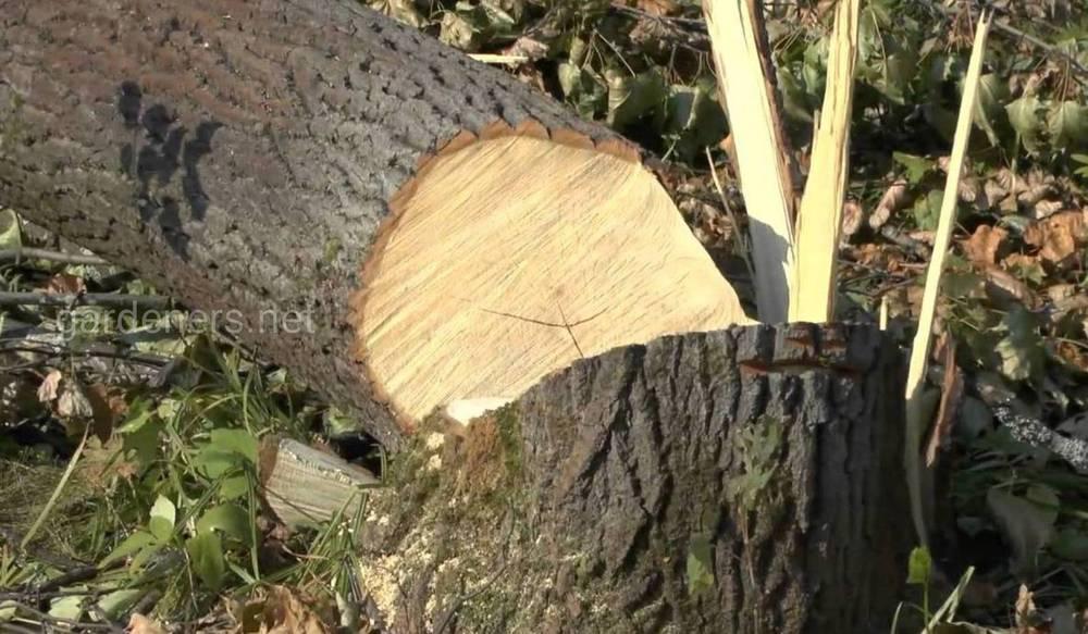 ошибки садоводов при спиливании деревьев