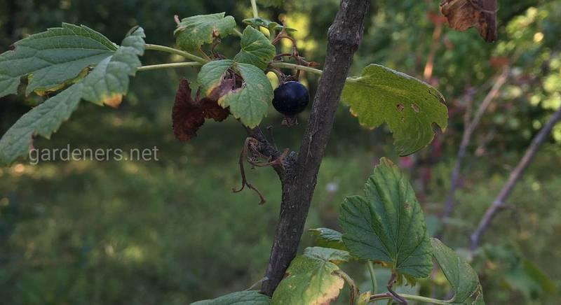 Листья кустов смородины покрылись красными «бородавками»