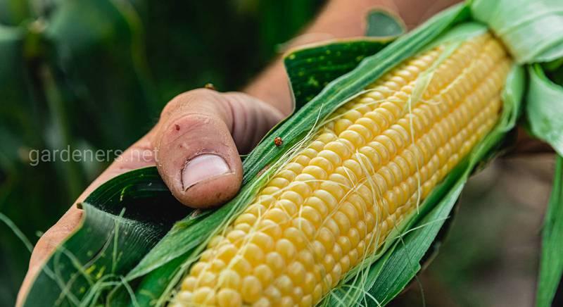 Органічна кукурудза - захист та врожай