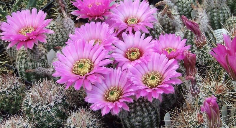 Эхиноцереус: посадка, полив, внесение удобрений, размножение и возможные проблемы цветущего кактуса