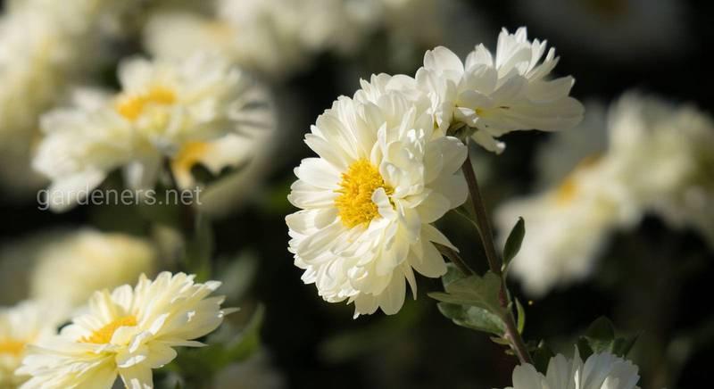 Хризантемы для поздней осени. Морозостойкие сорта
