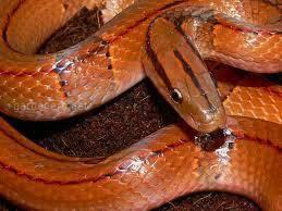 Змея Вьетнамский бамбуковый полоз Vaillanti