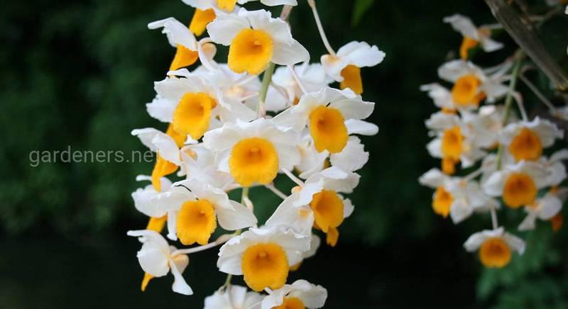 Дендробиум: виды пафосного цветка