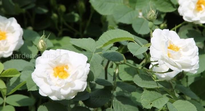 Роза Альба суавеоленс.