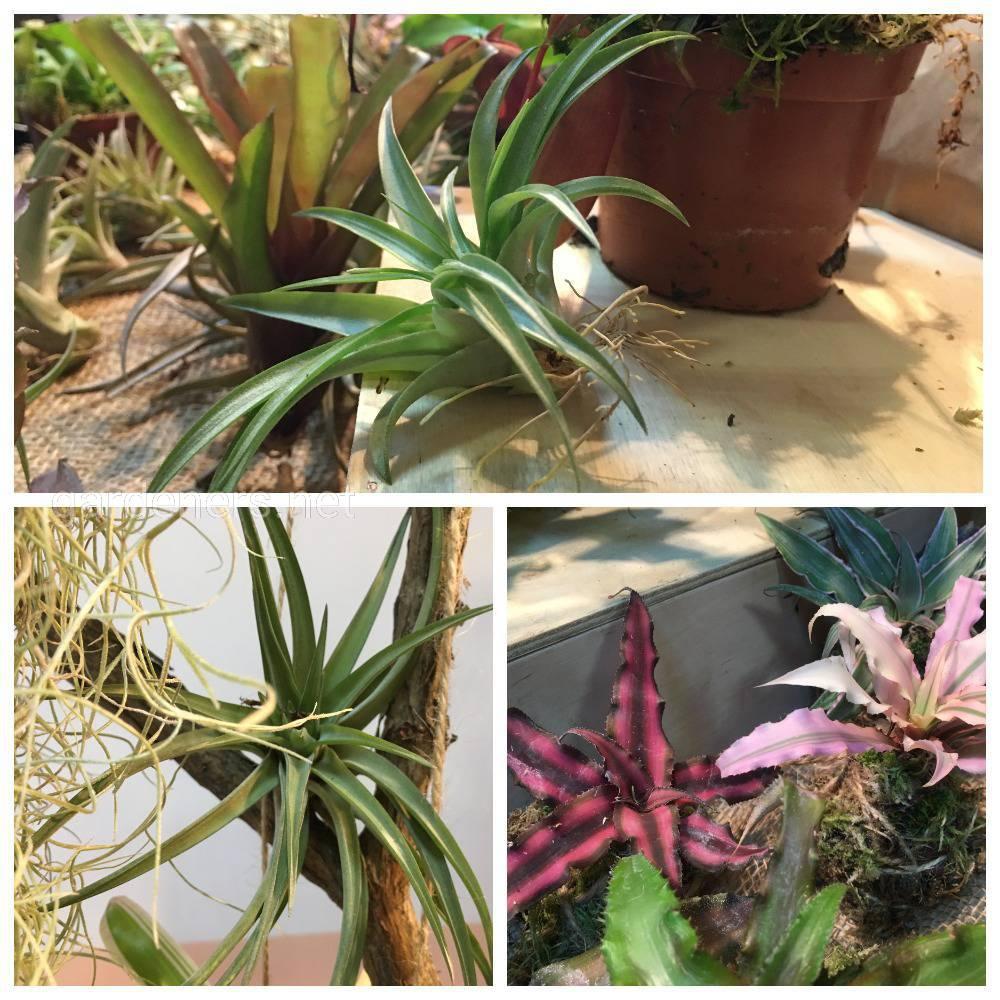 растения эпифиты