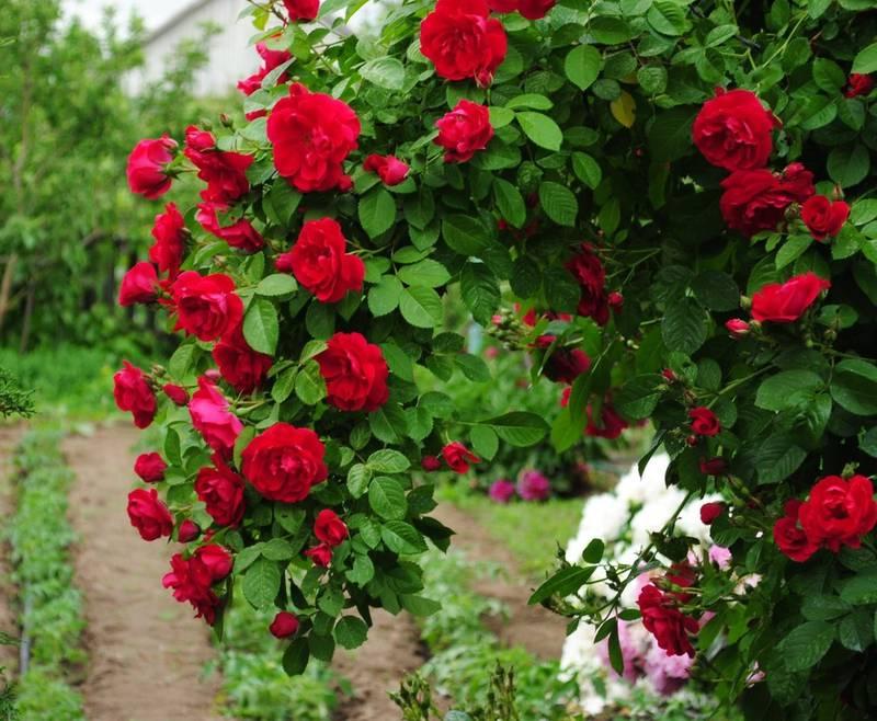 Як направити плетисті троянди рости в бажаному напрямку?