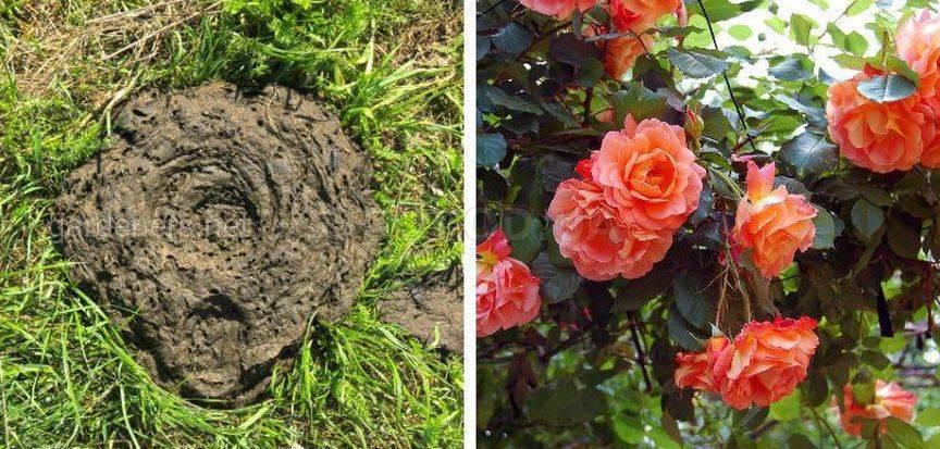 Подкормка роз органическими удобрениями1