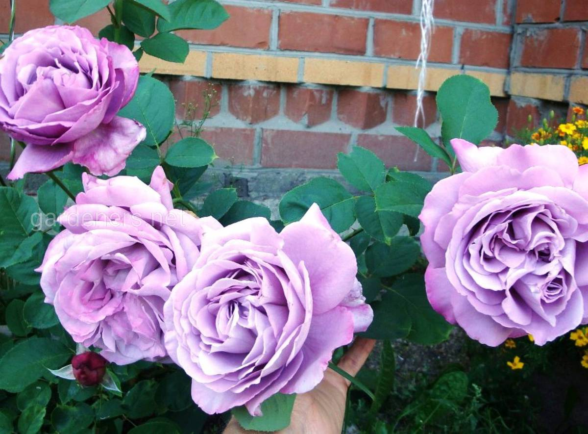 Плетистая роза «Indigoletta»