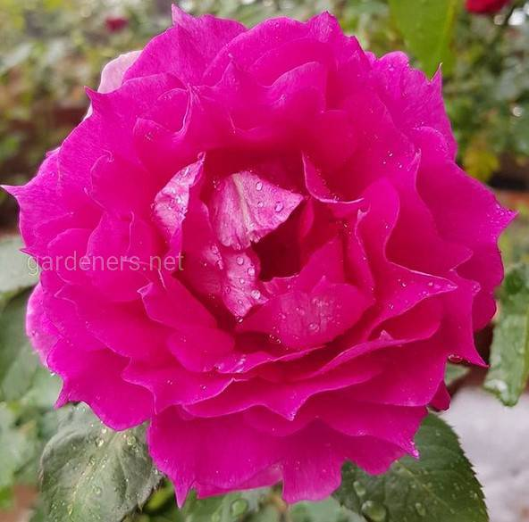 Sheherazade rose