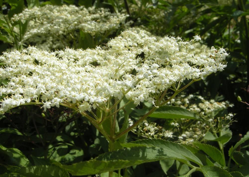 sambucus-nigra-flower-2.jpg