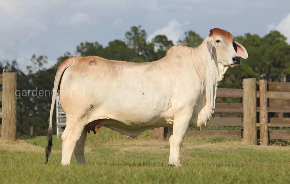 Зебу порода коров