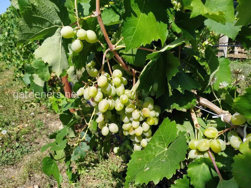 Чому у винограду відшаровується кора