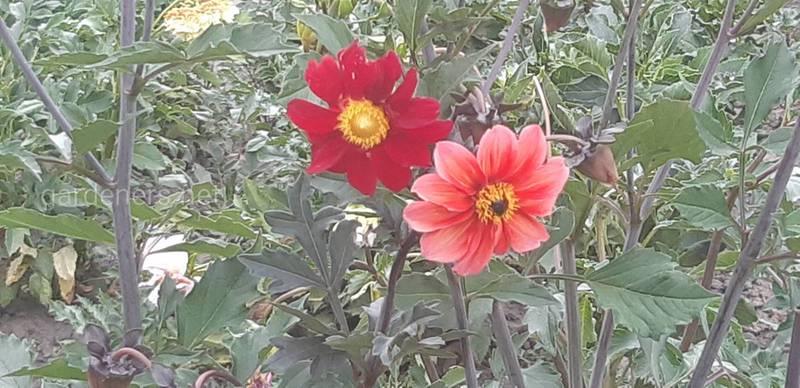 Как правильно высаживать луковичные цветы?