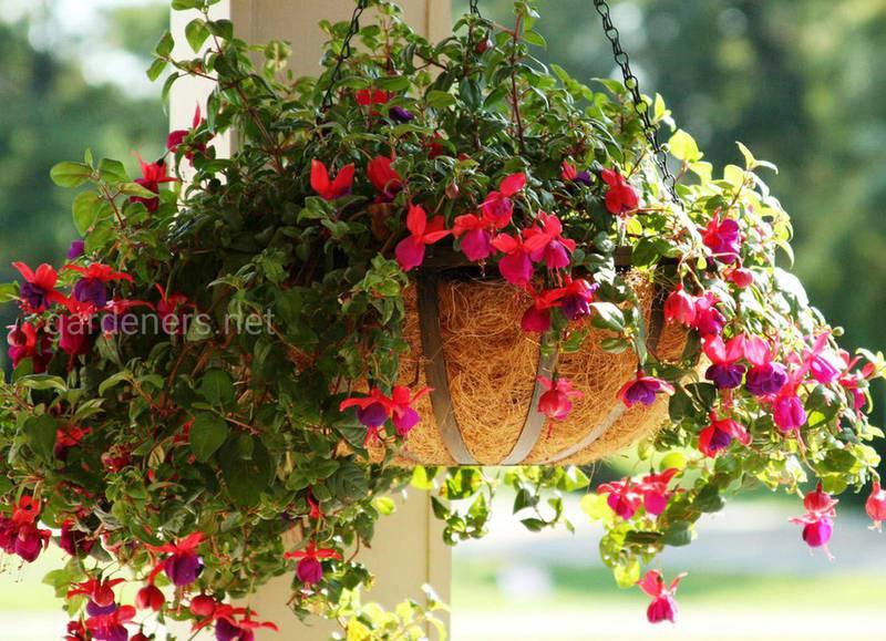 Какие балконные цветы предпочитают тень?