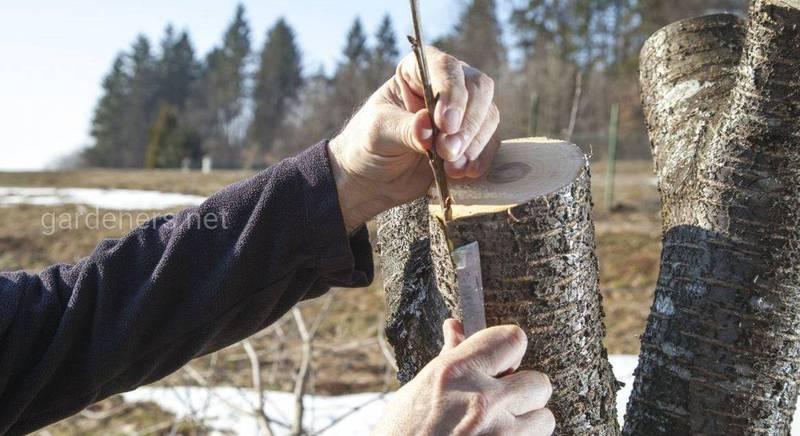 Как понять что дерево готово к прививки летом?