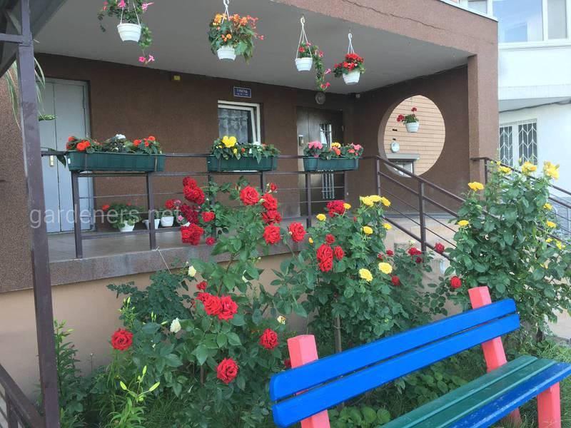 Как правильно ухаживать за кустовыми розами после обрезки?
