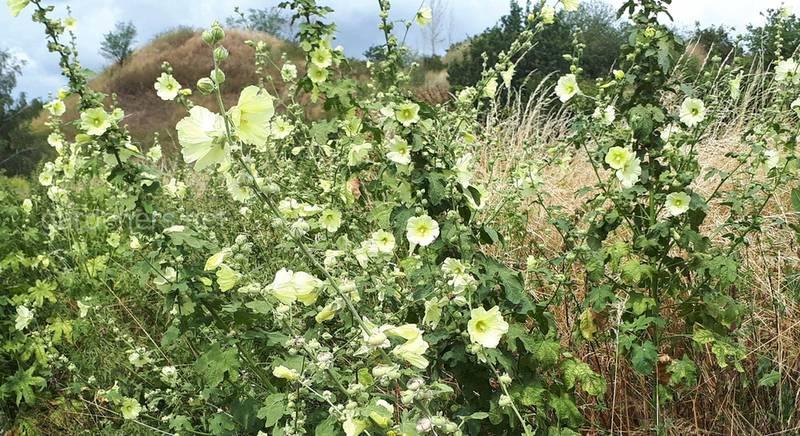 Мальва - цветок преданности и вечной любви
