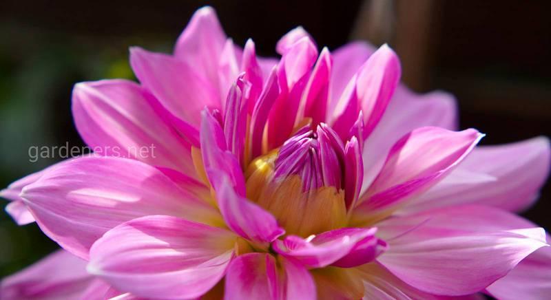 Чарівні жоржини: як виростити великі і здорові квіти