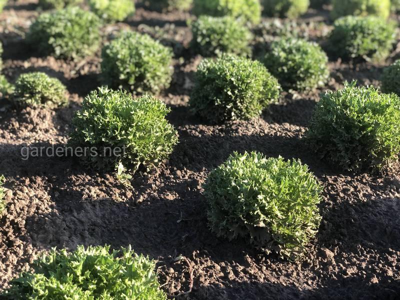 Как успешно выращивать полевой салат?