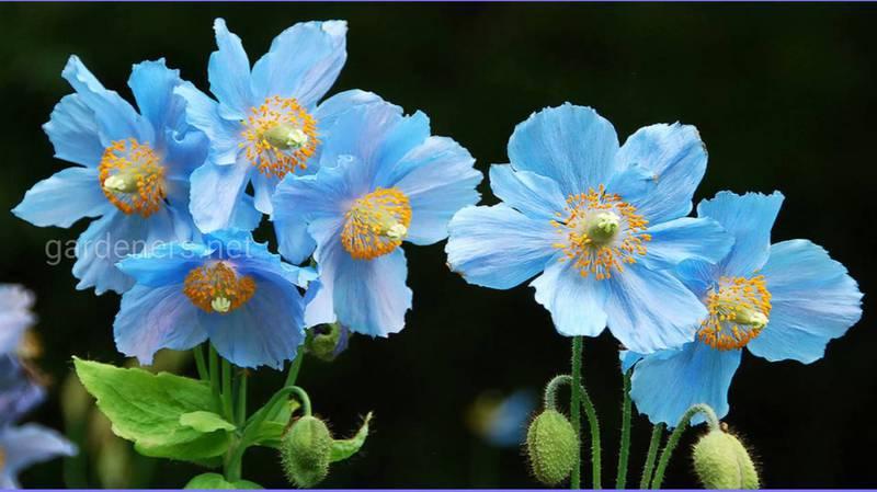 Меконопсис (Гималайский голубой мак)