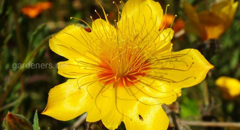 Выращивание и уход за бартонией