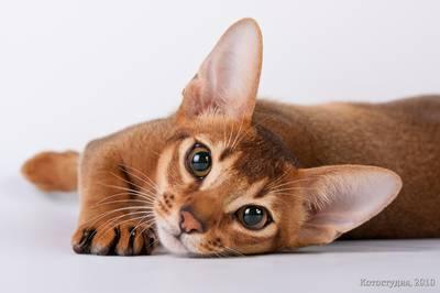 Цейлонська кішка
