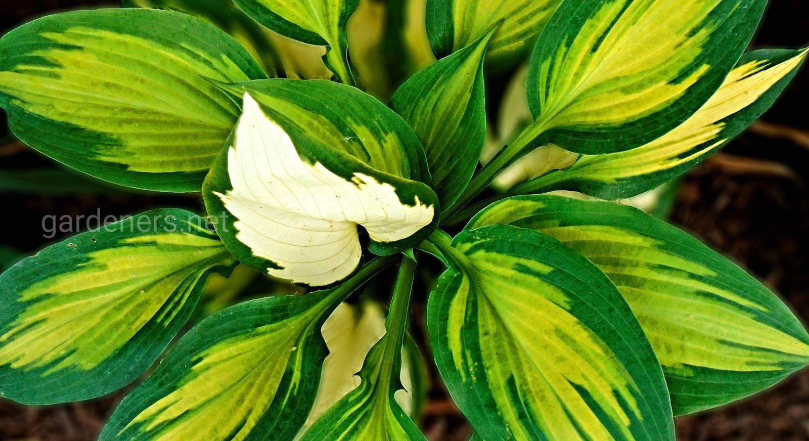 Декоративно-лиственные растения для клумб
