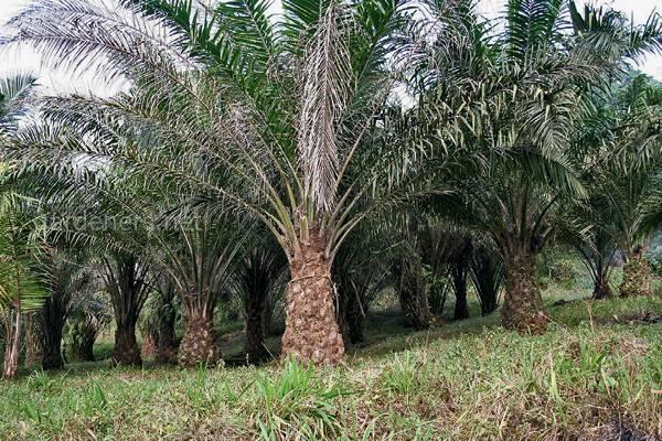 Масличная пальма.jpg