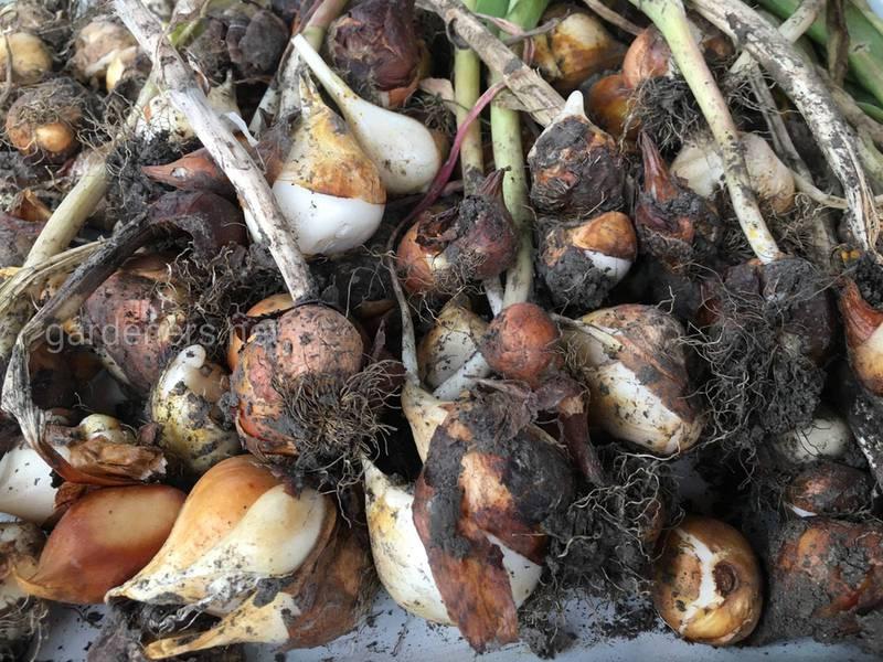 Как поощрить более раннее цветение луковичных видов?