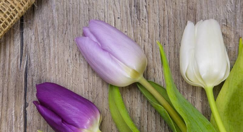Чим корисні тюльпани? Тюльпан, це не тільки декоративна квітка!