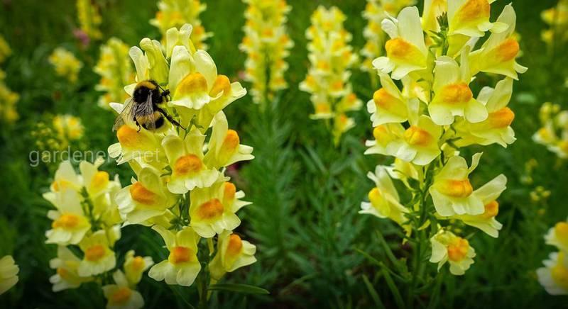 """Львиный зев: милый цветок красивых окрасов, который радует своей """"особенностью"""""""