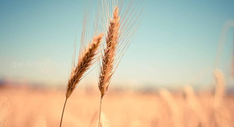 Види покривних культур та вимоги до їх вирощування!