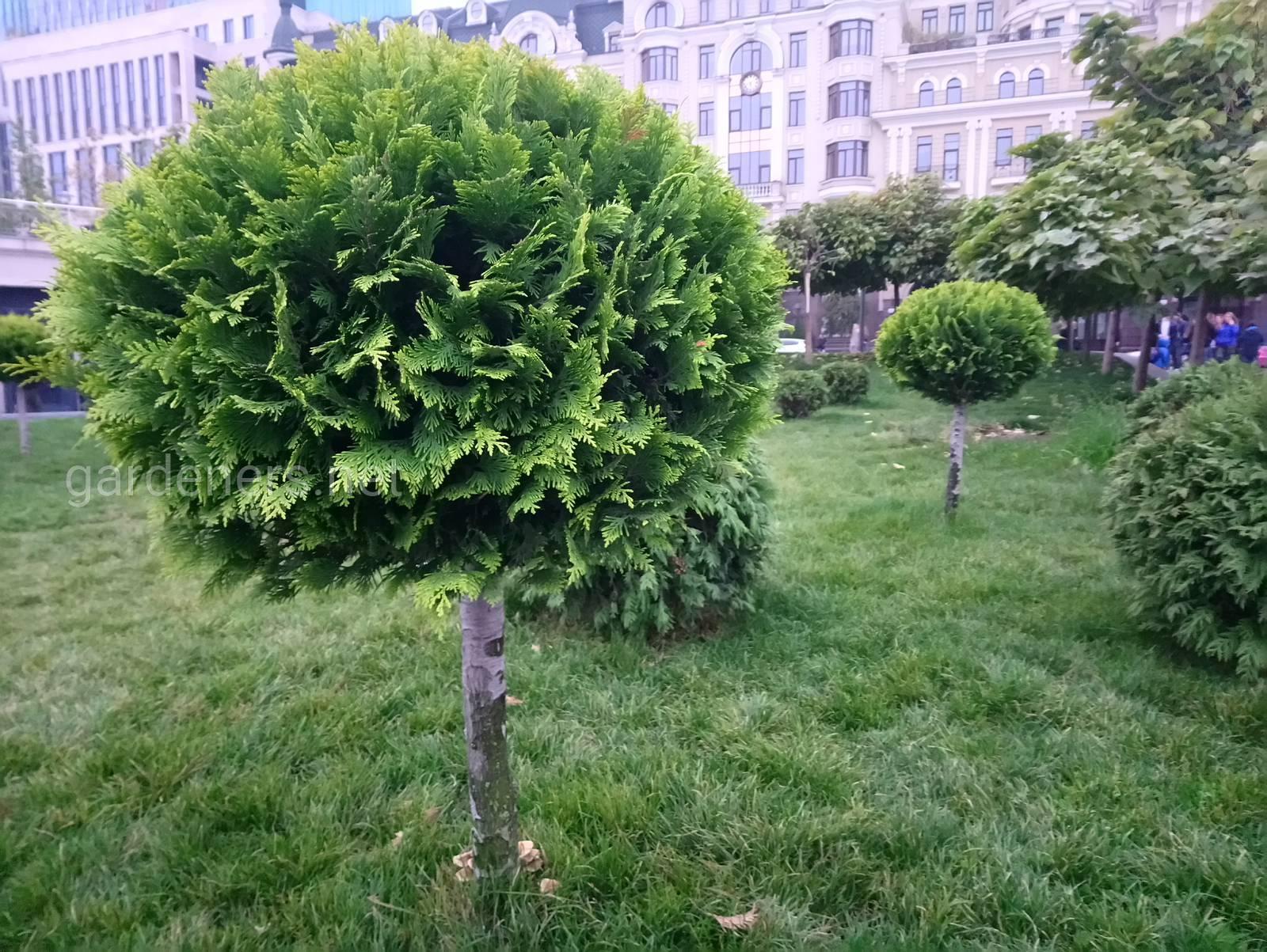 Красивые хвойные деревья