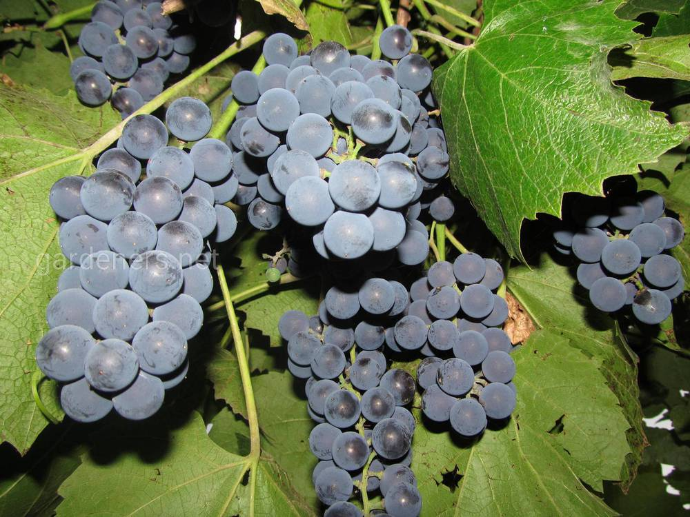 Виноград «Молдова»