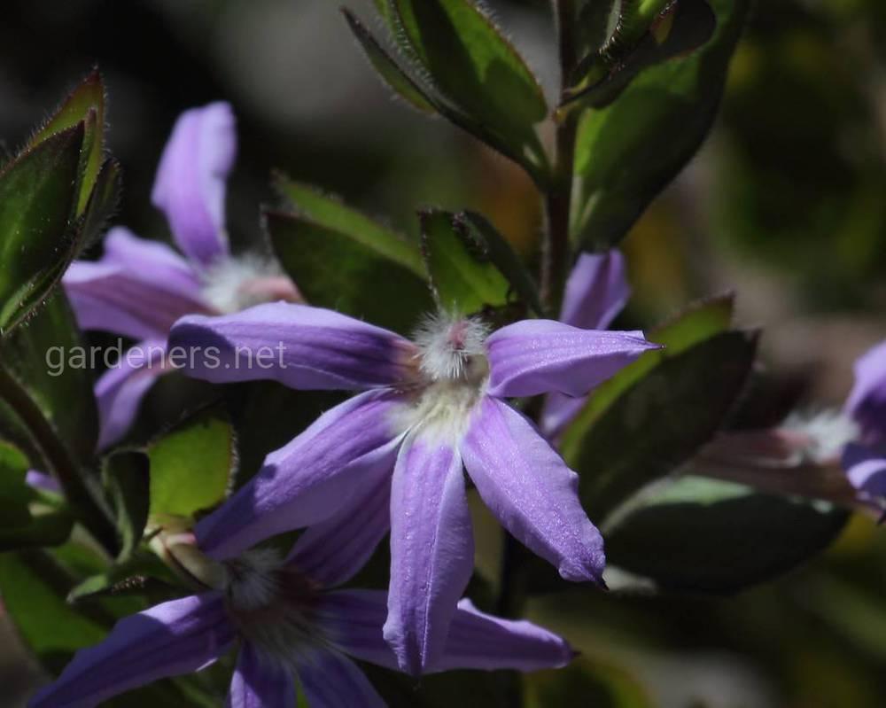 Scaevola platyphylla