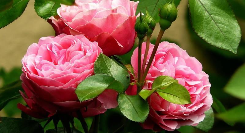 Как сделать дерево из розы? Великолепие штамба
