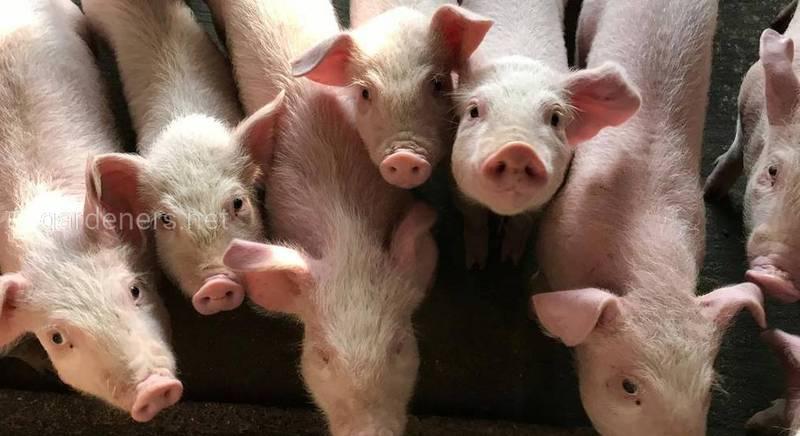 Неприбуткове свинарство, або чому імпорт свинини у травні зріс утричі