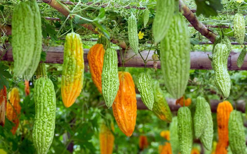 Момордика, выращивание экзотического плода!