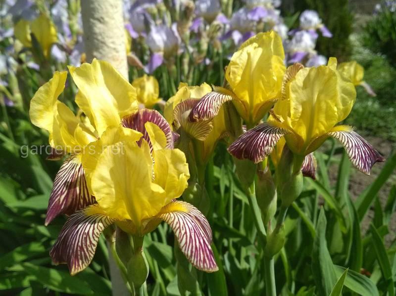Размножение ирисов осенью —больше цветов весной