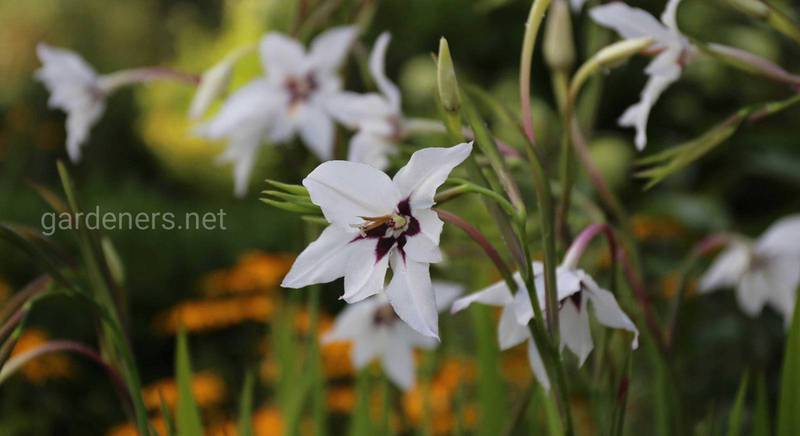 Ацидантера: виды элегантного, приносящего праздник на участок, растения