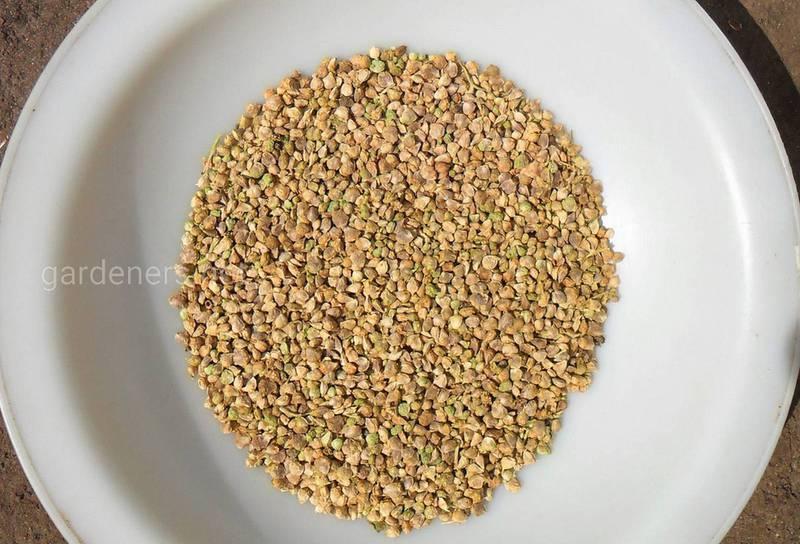 Как подготовить семена шпината для посадки