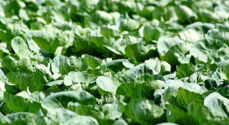 Важность серы в рационе овощей!
