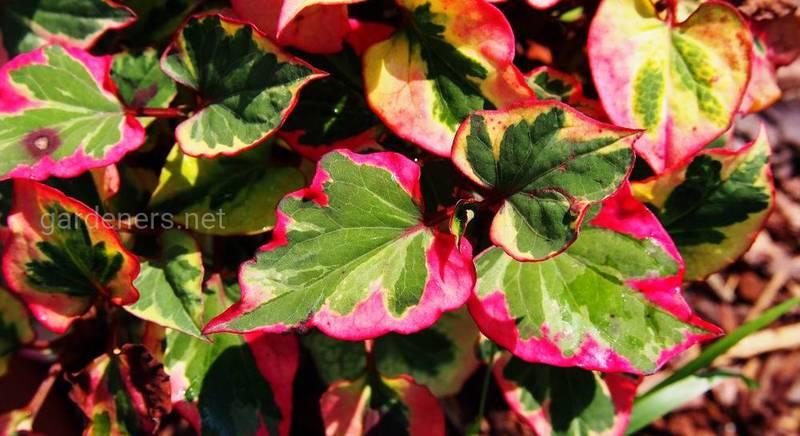 Хауттюйнія: неймовірна рослина для саду. Види і сорти