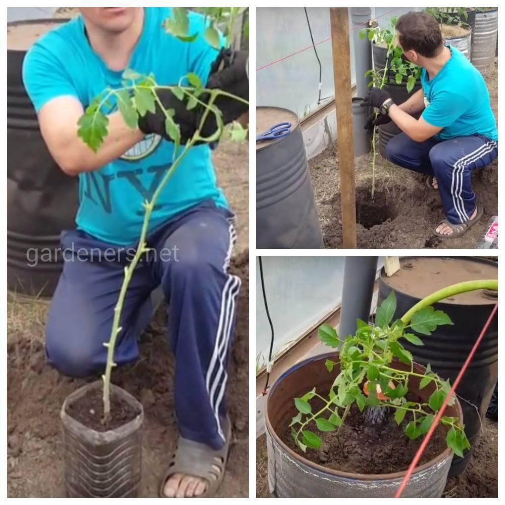 томаты в бочках