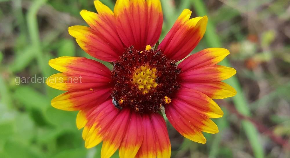 цветок гайлардия посадка и уход