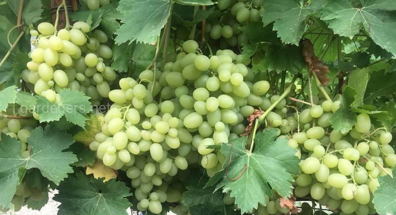 Культивування винограду