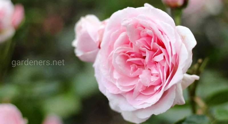 розы шрабы.jpg
