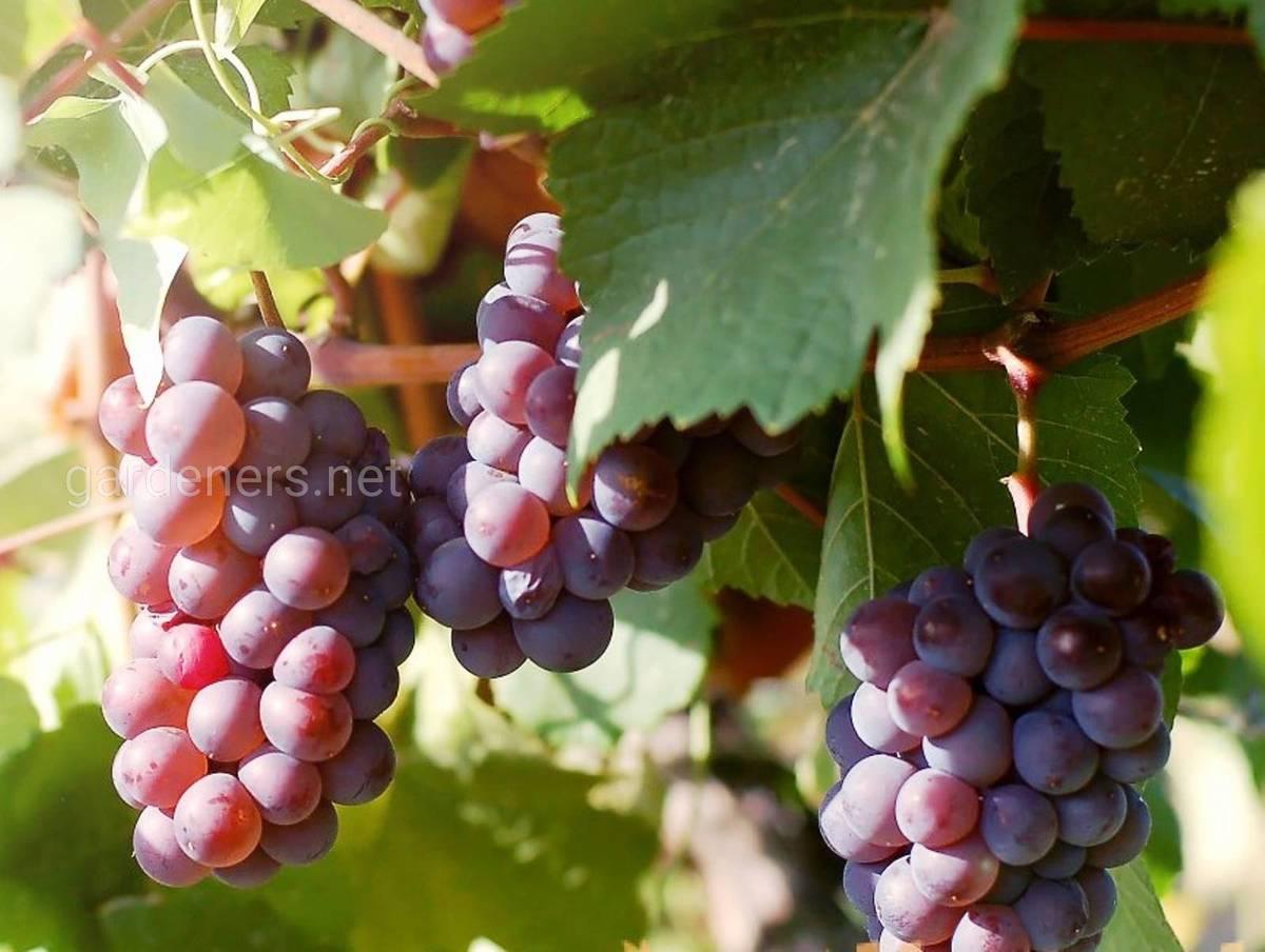 Виноград Розовый мускат