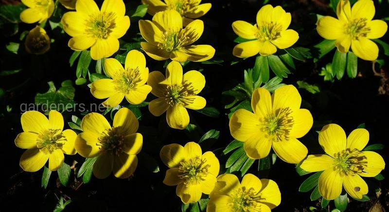 Відомі види і сорти весняної квітки Ерантіс